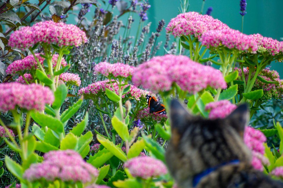 Cat stalking a red admiral butterfly