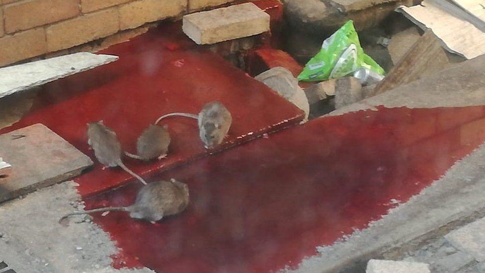 Rats in Livingstone Hospital
