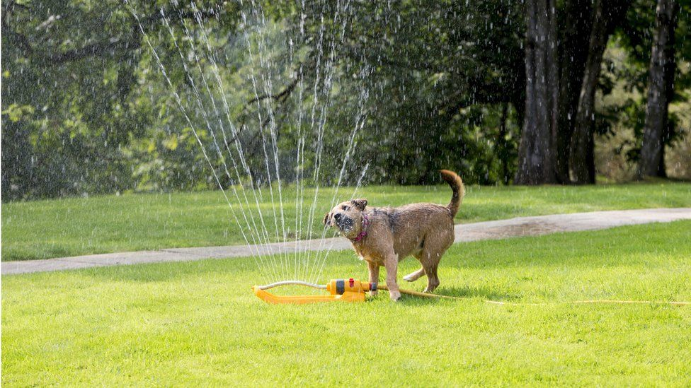Dog running through a garden sprinkler