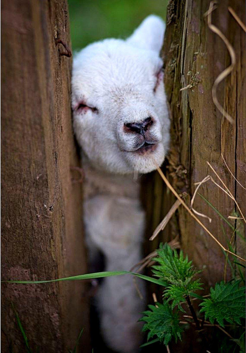 lamb in a jam