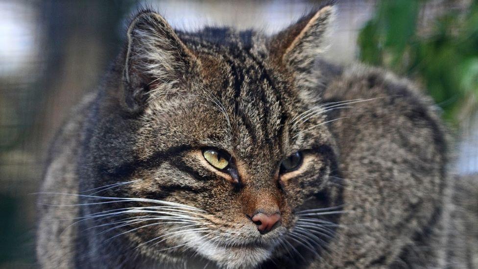 A wildcat at Wildwood's reserve in Kent