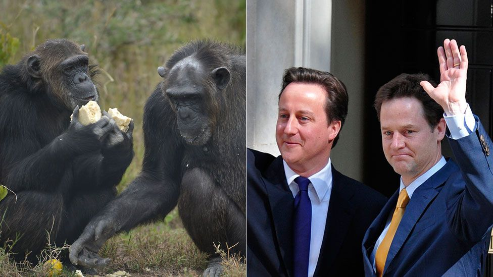 Chimpanzees, David Cameron and Nick Clegg