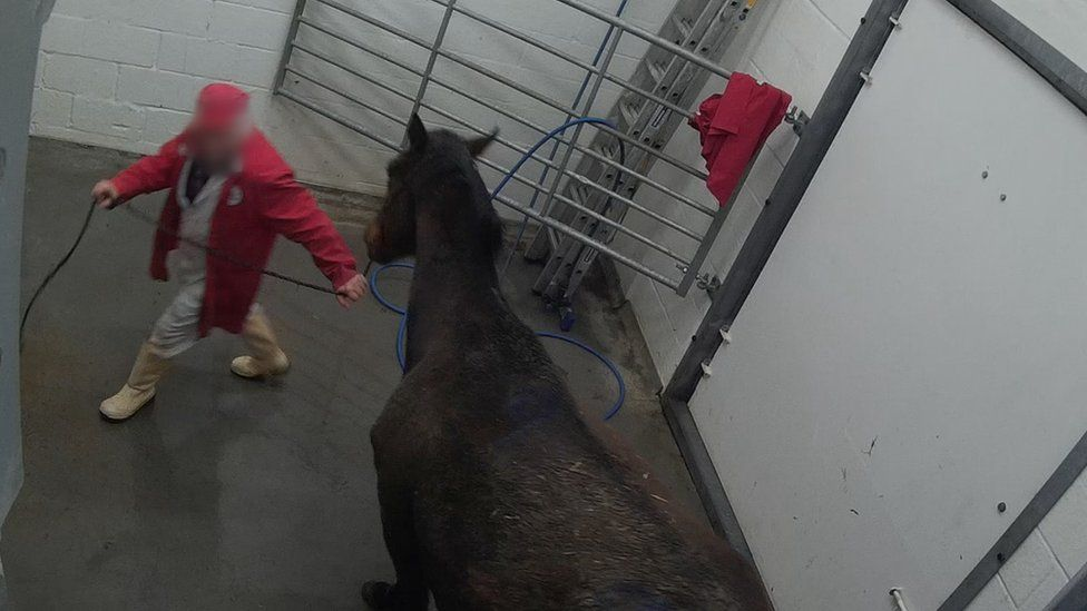 Undercover footage filmed by campaign group Animal Aid, at Drury and Sons abattoir.