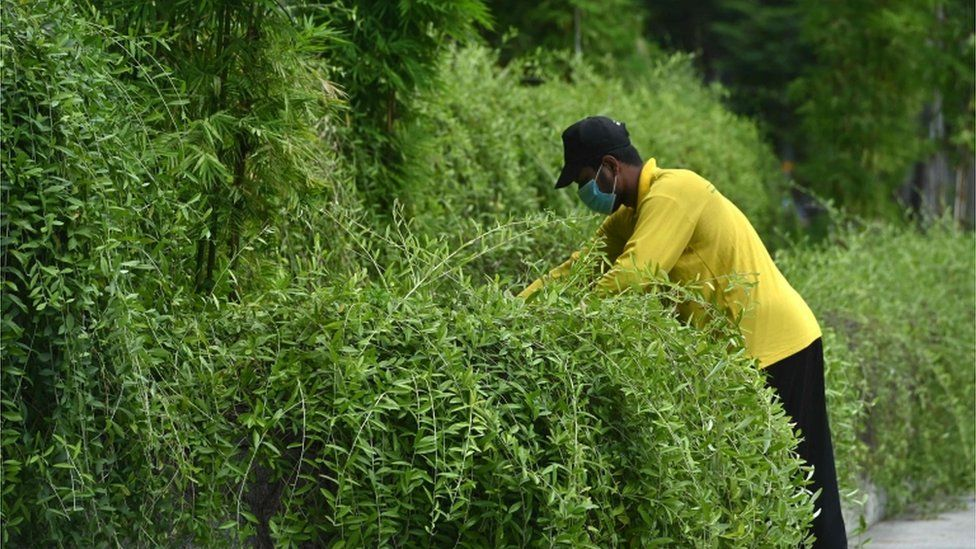 A worker trims overgrown plants in the financial business district in Singapore on June 11, 2020, as the city state eased its partial lockdown restrictions aimed at curbing the spread of the COVID-19 coronavirus.