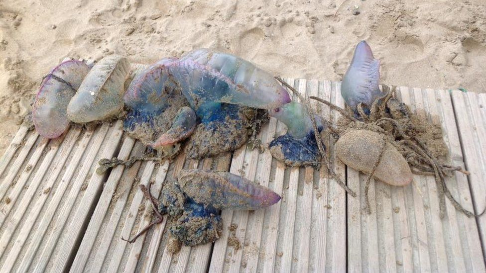 Washed-up Portuguese man-of-war