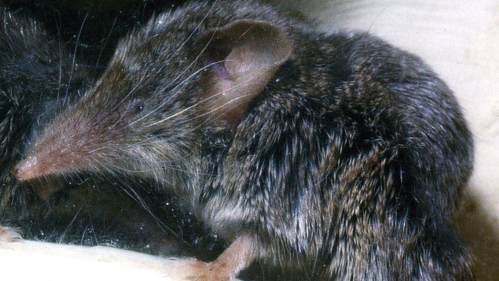 Canarian shrew