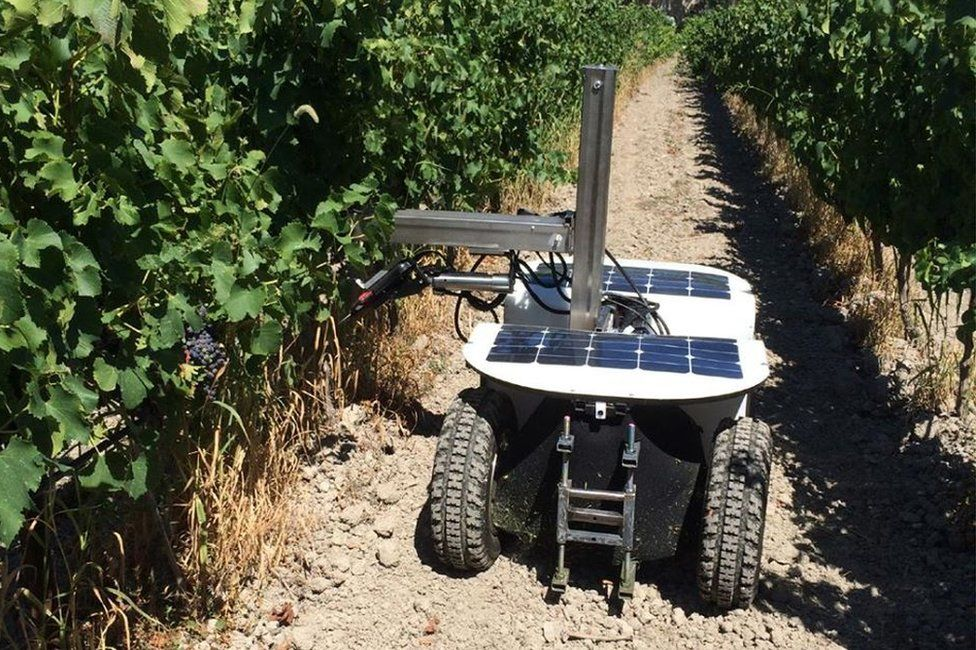 Vine pruning robot in vineyard