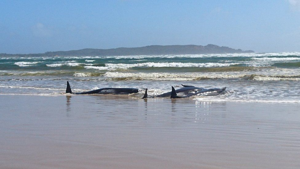 Some of the stranded whales on a sandbar at Macquarie Heads