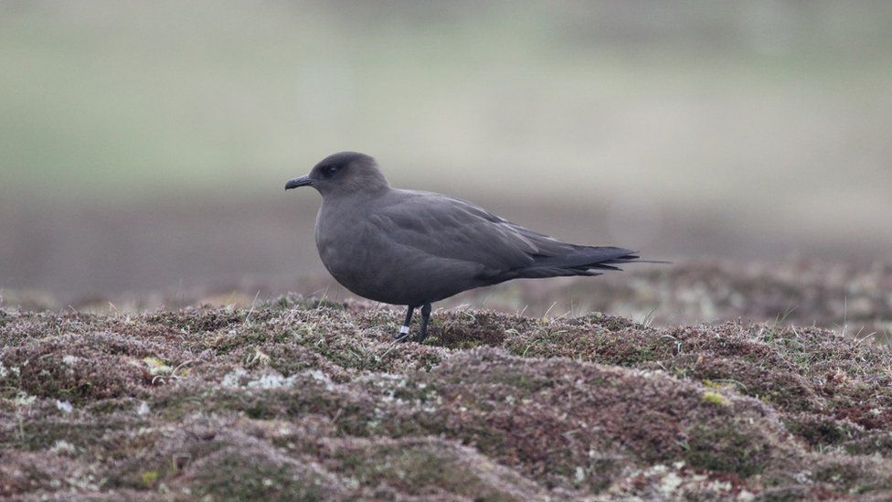 Breeding seabird numbers in Scotland almost halved since 1980s thumbnail