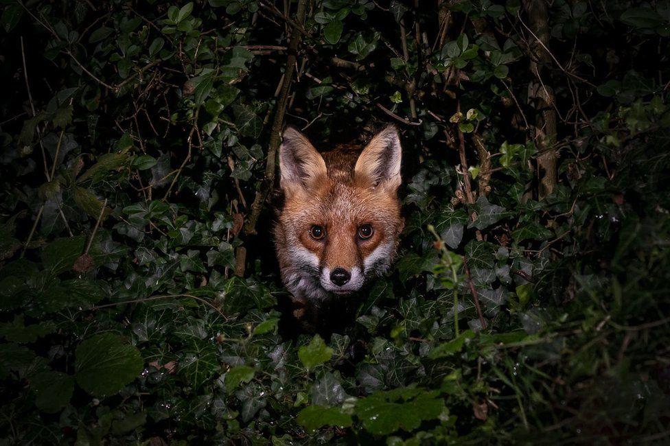 A fox seen in a garden in Amersham, England