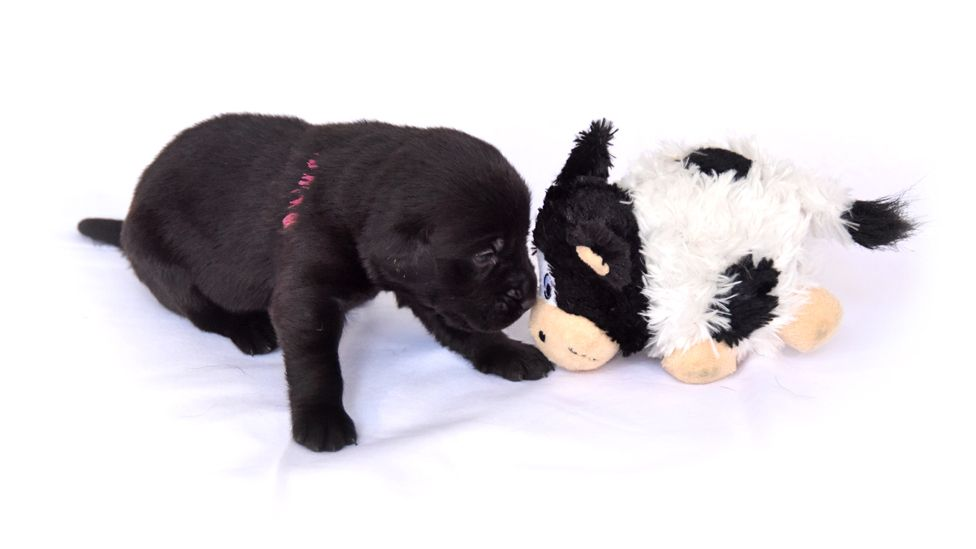 A small black Labrador puppy looks at a cuddly toy cow