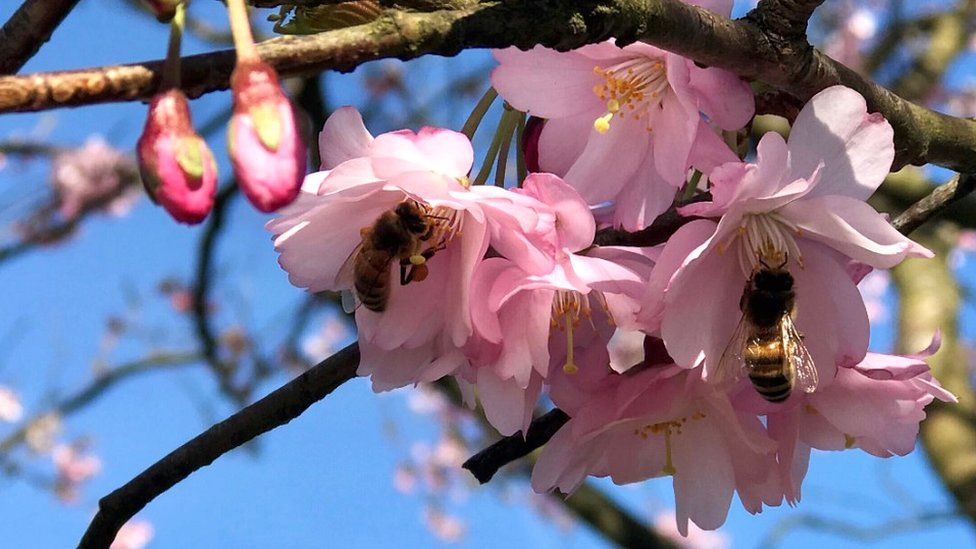 Bees in cherry blossom