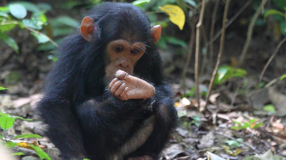 Young chimpanzee inspecting foot