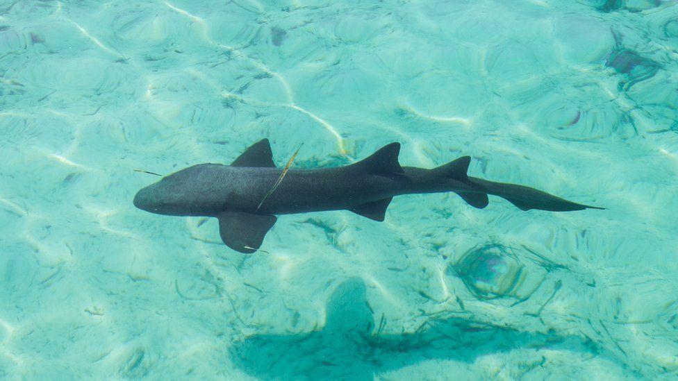 Great nurse shark