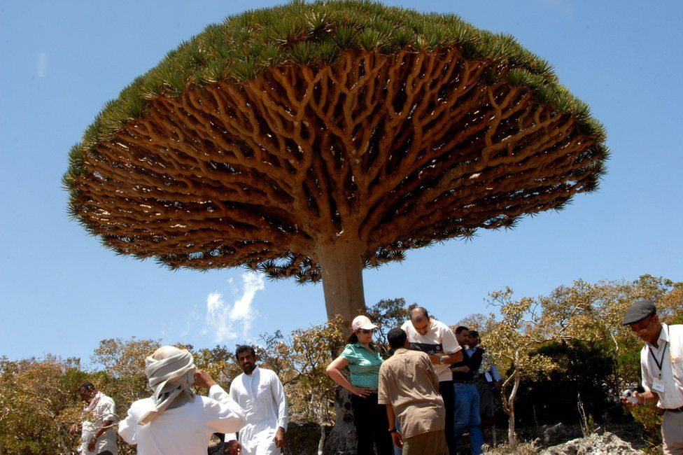 Tourists stand beside a dragon's blood tree on Socotra island (27 March 2008)