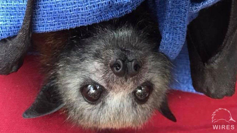 A flying fox pup is nursed by rescuers in Sydney