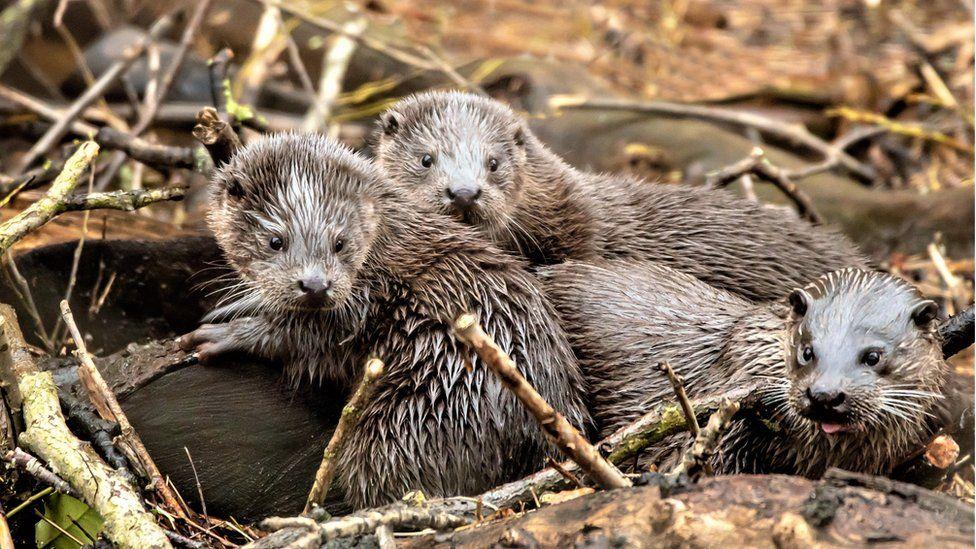 Wild otters