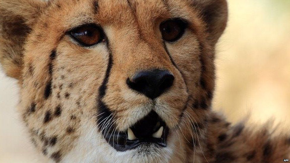 A cheetah is pictured on 22 March 2013 at the private game reserve in South Africa