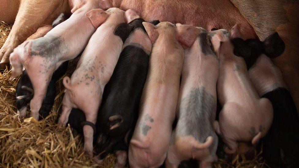 Abattoir labour shortage sees Yorkshire farmer kill piglets thumbnail
