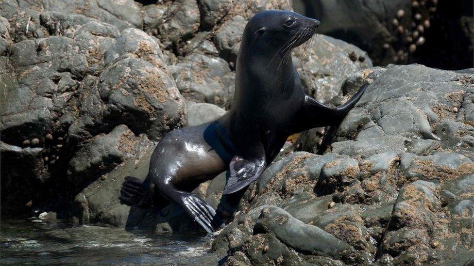 Seal pup on rocks outside Kaikoura (21 Nov 2016)