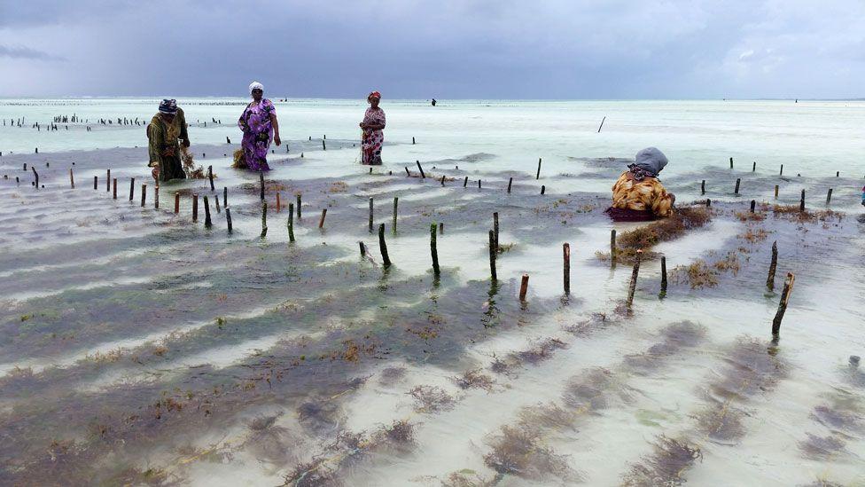 Image result for seaweed in zanzibar