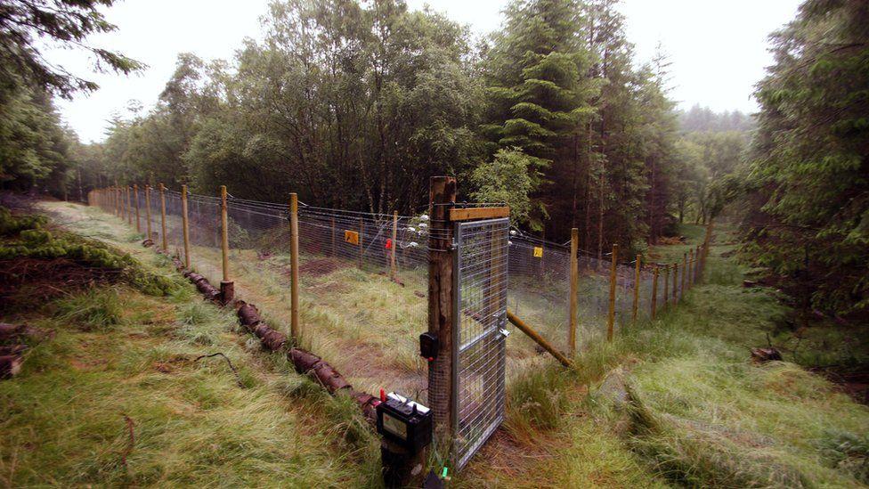 The Scottish wildcat kitten's fenced off enclosure