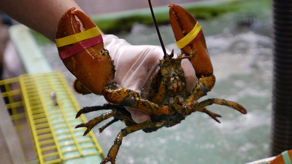 A fisherman in Maine holding a lobster