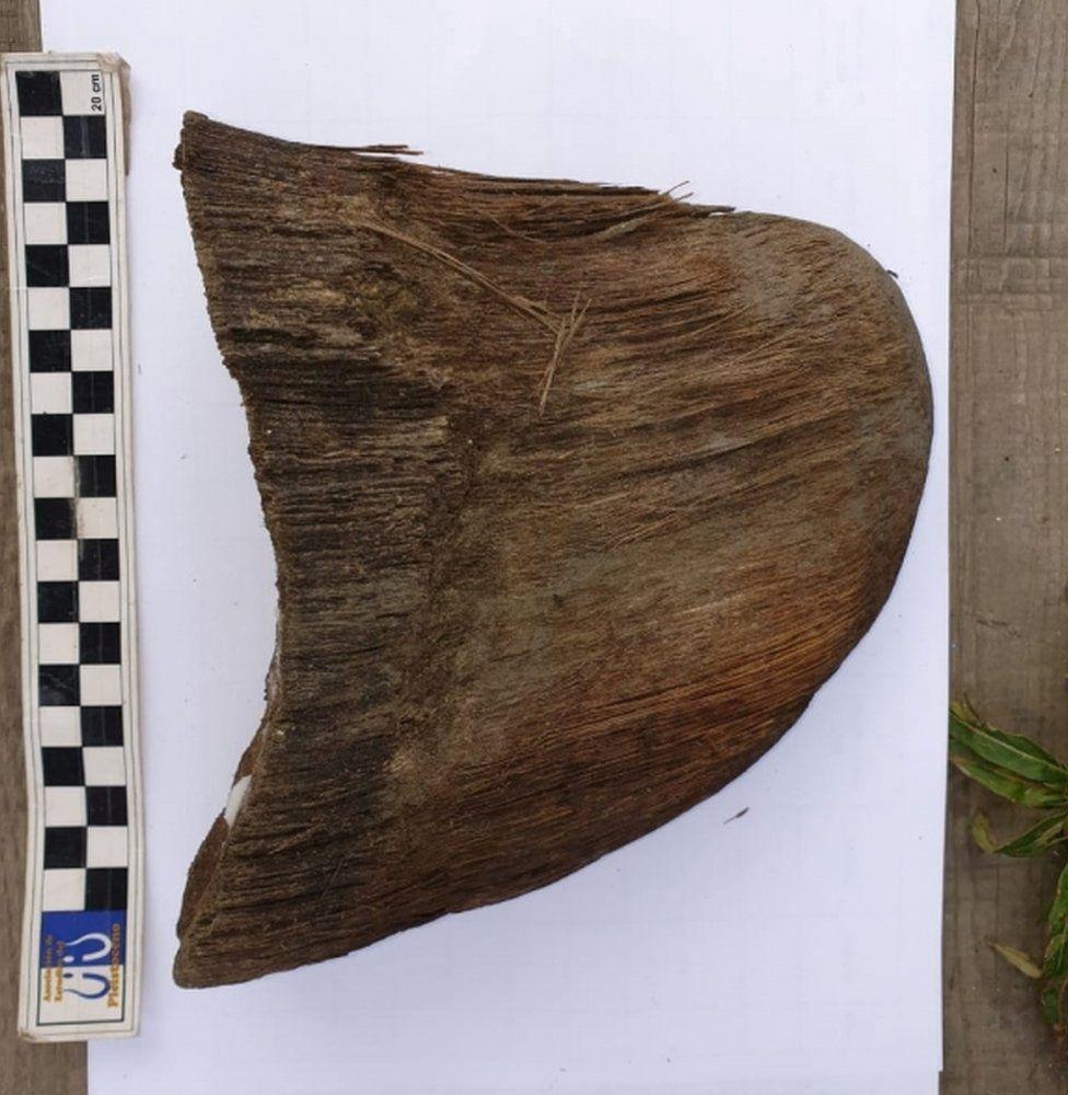 A horn of a juvenile woolly rhinoceros