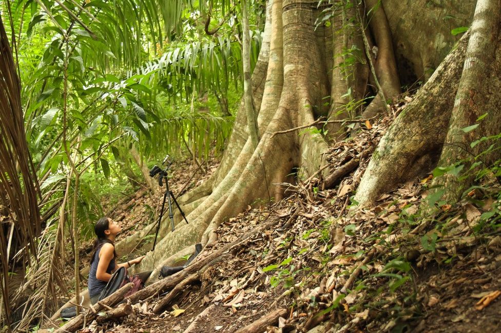 Dr Fernandez recording babbling of wild Saccopteryx bilineata pups in their day-roost in Costa Rica