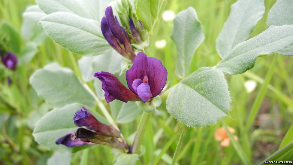 Grass pea relative from Cyprus