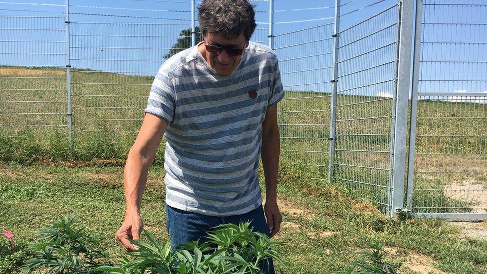 Markus Lüdi inspects a cannabis plant