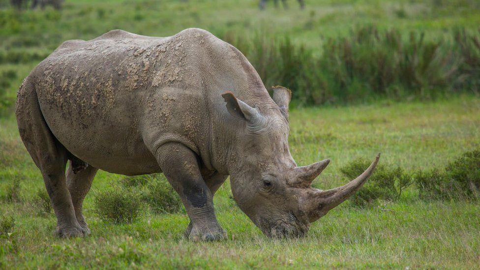 A Black rhino in Kenya, Nakuru district of the Rift Valley Province