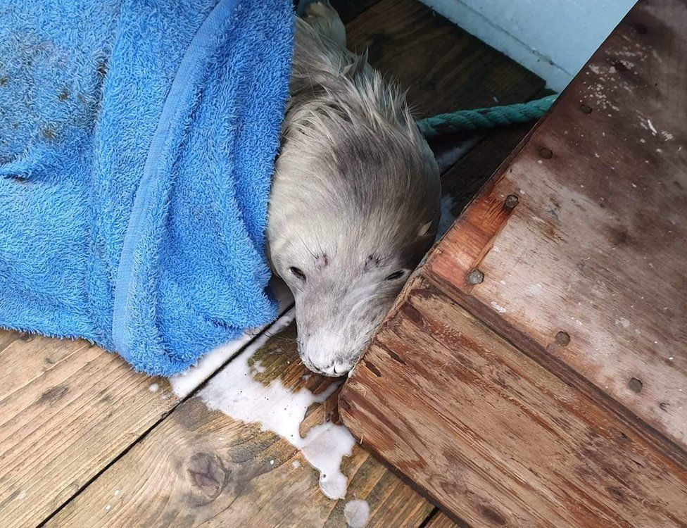 Farne Islands seal pup saved by tourist boat skippers
