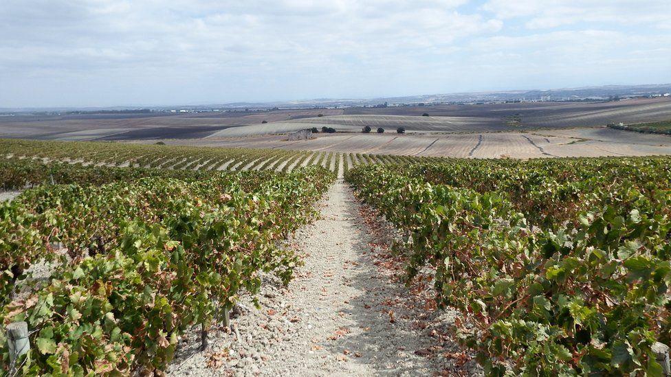 Vineyards near Jerez de la Frontera