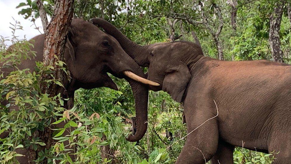 Elephants playing