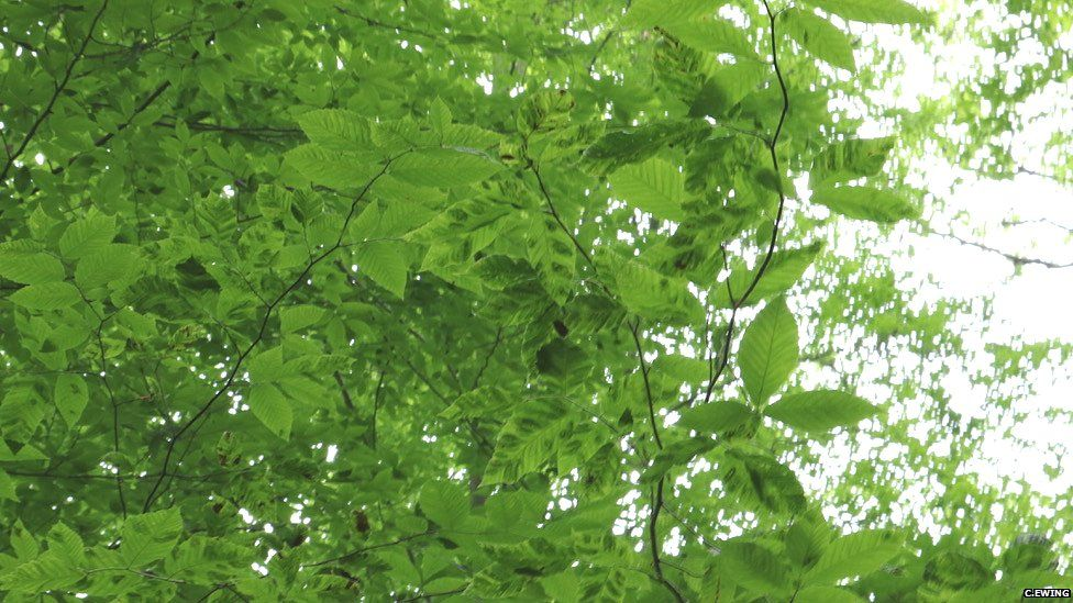 Foliage displaying signs of Beech Leaf Disease