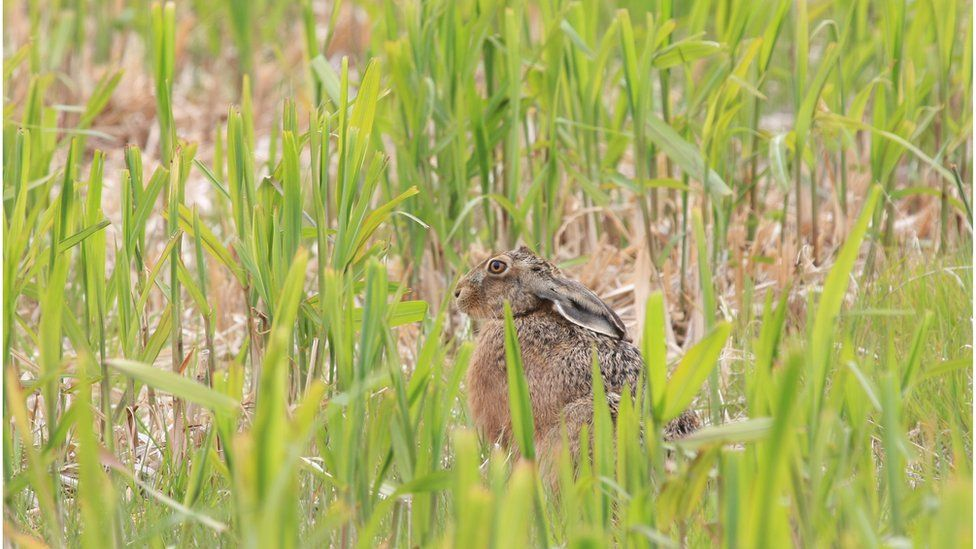 Brown hare in Miscanthus in May