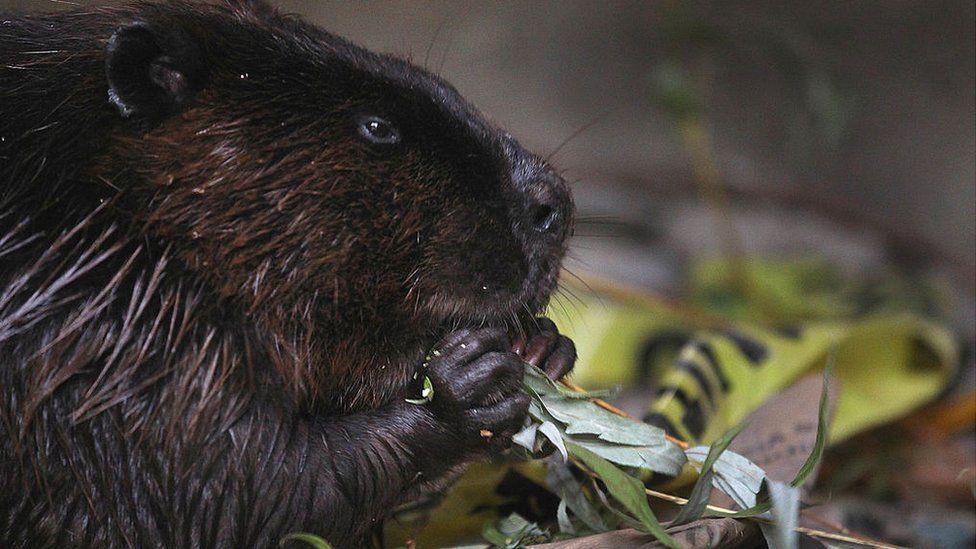 Chomping beavers knock Canadian town offline thumbnail