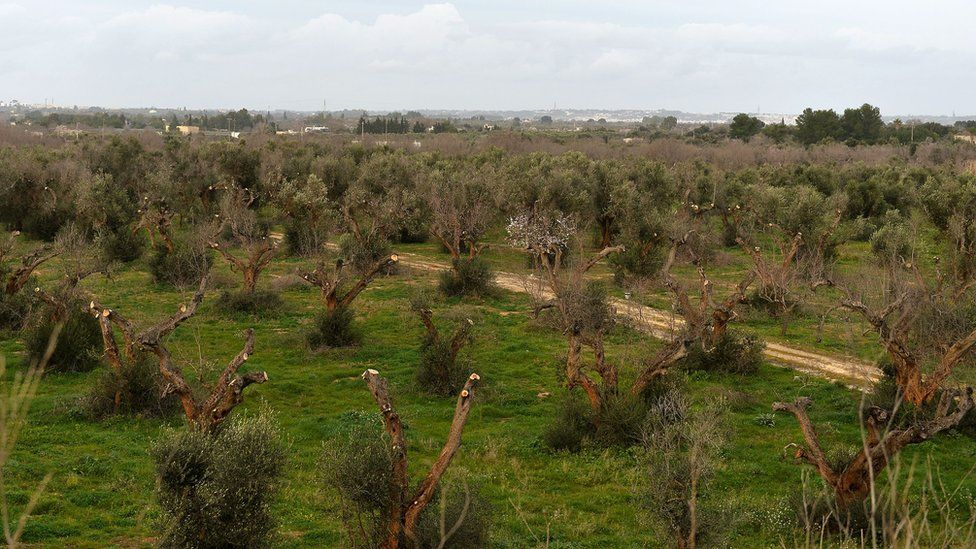 Olive groves hit by olive quick decline syndrome
