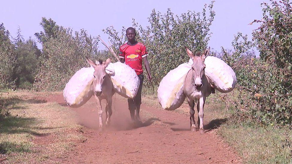 Two donkeys carrying sacks in Sebei, Uganda