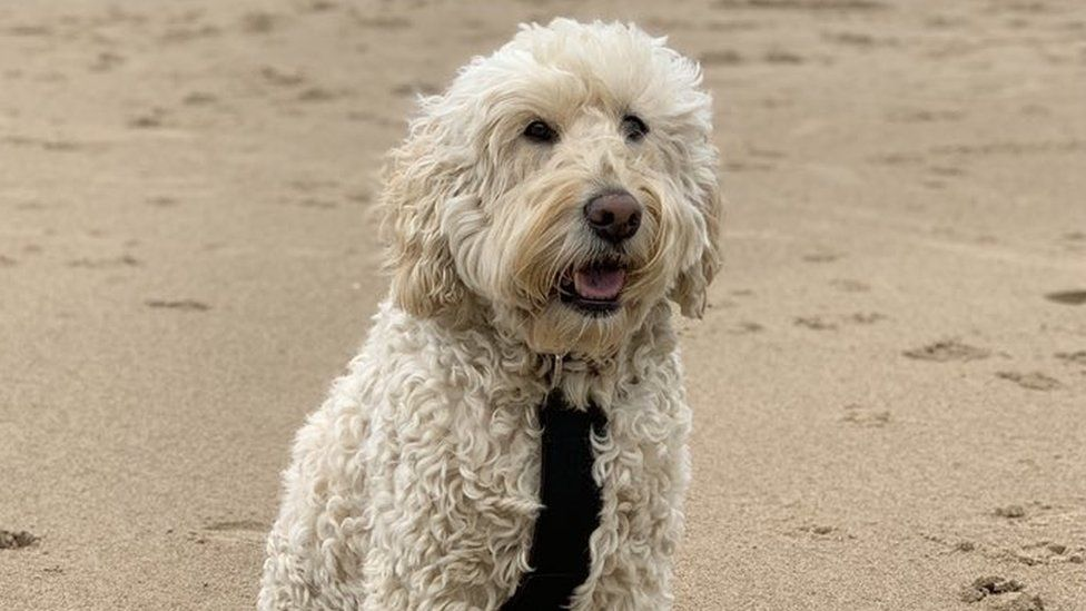 Labradoodle Creator Says Its His Lifes Regret Bbc News