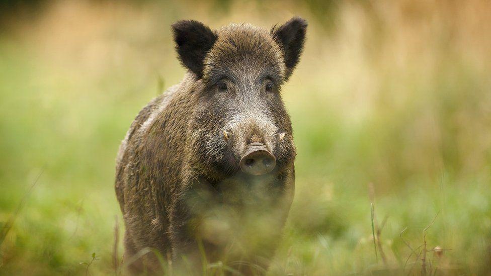 Wild boar in some grass