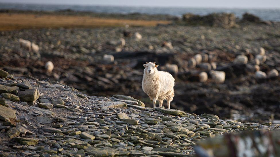 Sheep on the North Ronaldsay shore