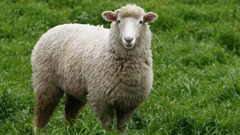 Merino sheep in Australia