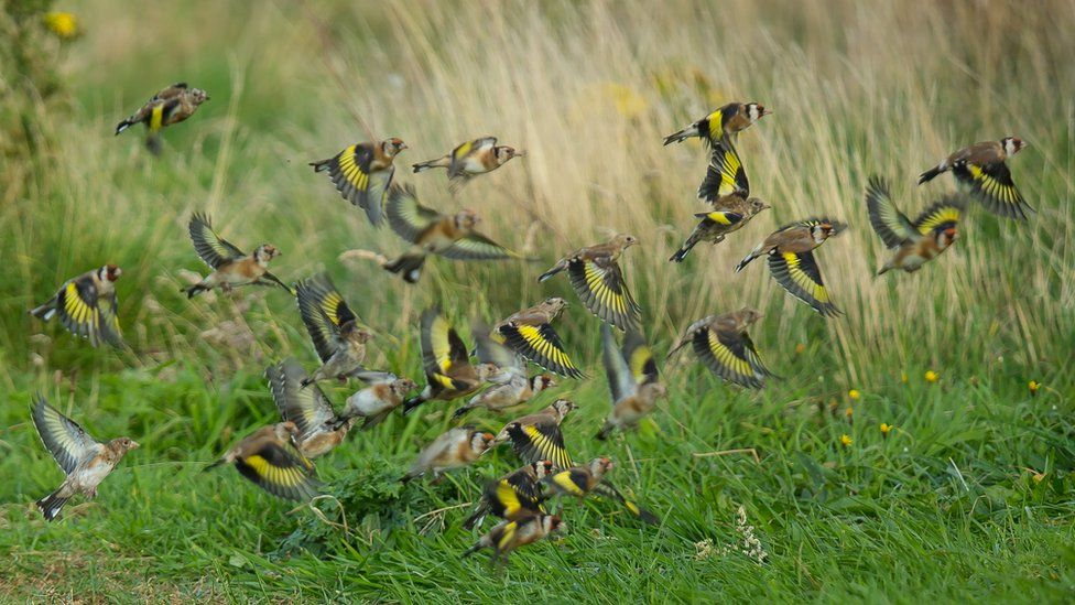 Flying finches
