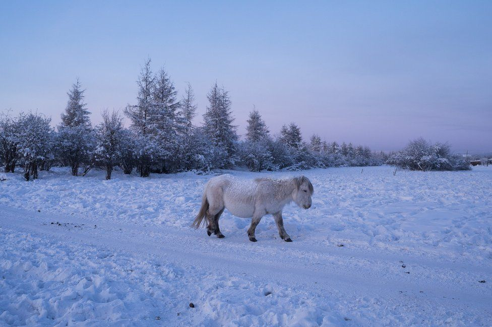 A horse walks alone at the edge of the village. The Yakut horse is a very rustic breed that forms the most northerly of horse breeds. Small and resistant, little domesticated, it supports the great thermal amplitudes of Yakutia by accumulating fat in autumn. This versatile pony is mainly raised for meat and holds a great place in the life, economy and spirituality of the Siberians. The inhabitants of Yakutia have no taboos concerning horse meat: breeding for this purpose is their main activity and represents in some villages up to 40% of the meat consumed.