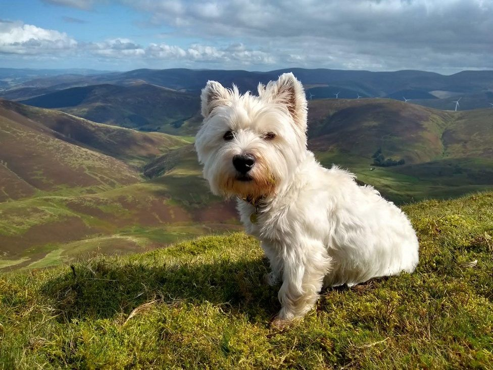 Archie the Westie on Culter Fell.