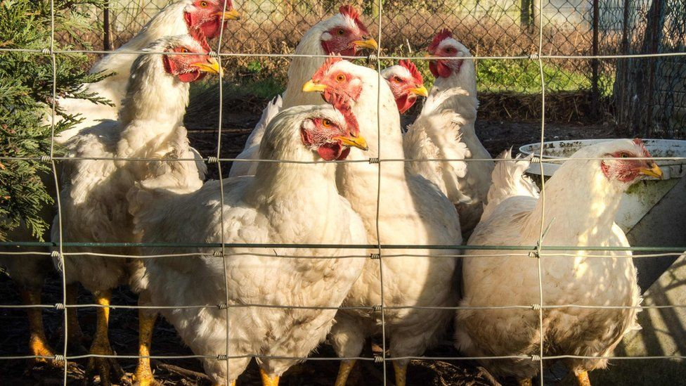 Chickens in farm in France