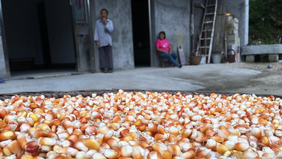 Corn farmed by Xiong to feed the chickens