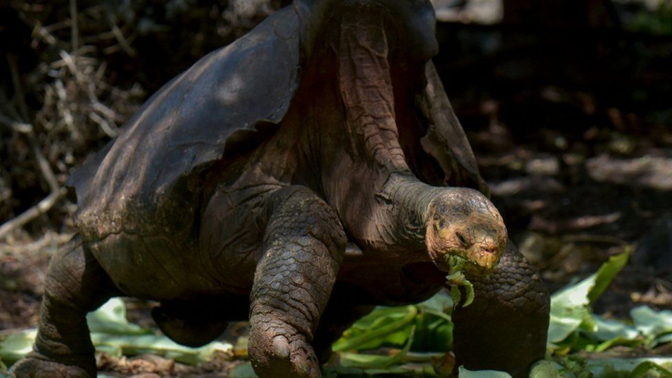 Diego, a tortoise of the endangered Chelonoidis hoodensis subspecies from Espanola Island, is seen in a breeding centre at the Galapagos National Park on Santa Cruz Island